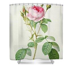 Rosa Muscosa Multiplex Shower Curtain by Pierre Joseph Redoute