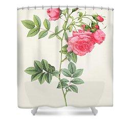 Rosa Pimpinellifolia Flore Variegato  Shower Curtain by Pierre Joseph Redoute