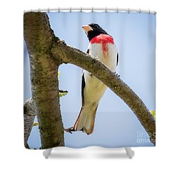 Shower Curtain featuring the photograph Rose-breasted Grosbeak Looking At You by Ricky L Jones