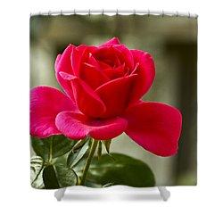 Red Rose Wall Art Print Shower Curtain by Carol F Austin