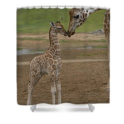 Shower Curtain featuring the photograph Rothschild Giraffe Giraffa by San Diego Zoo