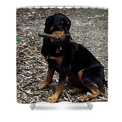 Rottweiler Dog Holding Stick In Mouth Shower Curtain by Sally Weigand