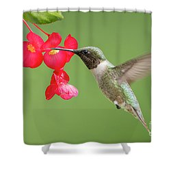 Ruby Throated Hummingbird Feeding On Begonia Shower Curtain by Bonnie Barry