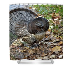 Ruffed Up- Ruffed Grouse Displaying Shower Curtain