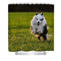 Running Australian Shepherd Shower Curtain by Daniel Precht