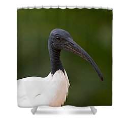 Sacred Ibis Shower Curtain by Jouko Lehto