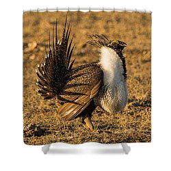 Sage Grouse Mating Display Shower Curtain by Yeates Photography