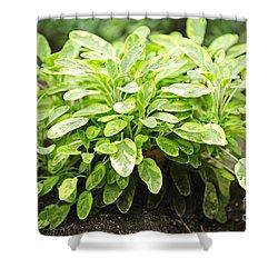 Sage Plant Shower Curtain by Elena Elisseeva