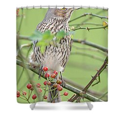 Sage Thrasher Shower Curtain