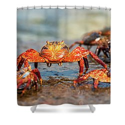 Sally Lightfoot Crab On Galapagos Islands Shower Curtain by Marek Poplawski