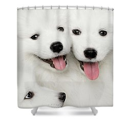 Samoyed Puppies Shower Curtain