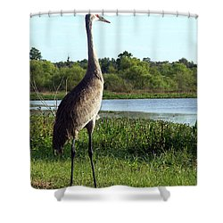 Shower Curtain featuring the photograph Sandhill Crane 019 by Chris Mercer