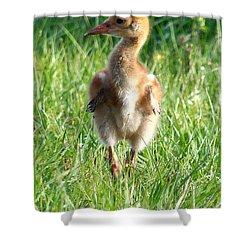 Sandhill Crane Chick 085  Shower Curtain