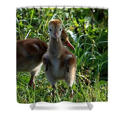 Shower Curtain featuring the photograph Sandhill Crane Chick 086  by Chris Mercer