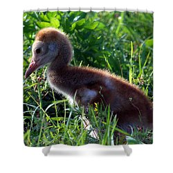 Shower Curtain featuring the photograph Sandhill Crane Chick 087  by Chris Mercer