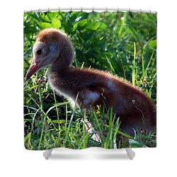 Sandhill Crane Chick 087  Shower Curtain
