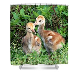Shower Curtain featuring the photograph Sandhill Crane Chicks 001 by Chris Mercer