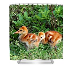 Shower Curtain featuring the photograph Sandhill Crane Chicks 002 by Chris Mercer