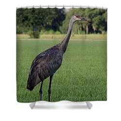 Shower Curtain featuring the photograph Sandhill Crane by Richard Rizzo