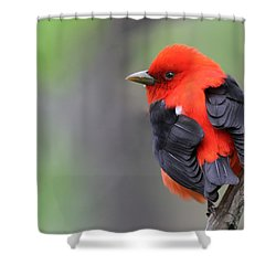 Scarlet Tanager Shower Curtain by Mircea Costina Photography