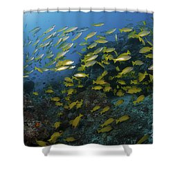 School Of Yellow Snapper, Great Barrier Shower Curtain by Mathieu Meur