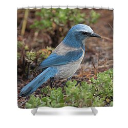 Scrub Jay Framed In Green Shower Curtain