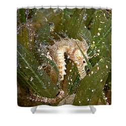 Shower Curtain featuring the photograph Seahorse by Rico Besserdich