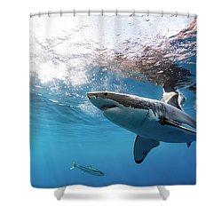 Shark Rays Shower Curtain by Shane Linke
