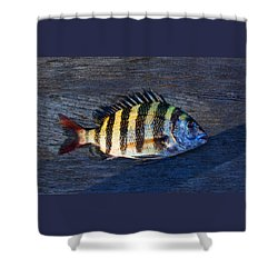 Shower Curtain featuring the photograph Sheepshead Fish by Laura Fasulo