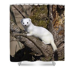 Short-tailed Weasel Mustela Erminea Shower Curtain by Konrad Wothe