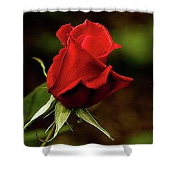 Single Red Rose Bud Shower Curtain by Jacqi Elmslie