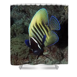 Six Banded Angelfish, Great Barrier Reef Shower Curtain