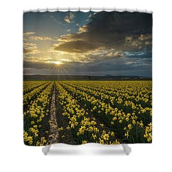Shower Curtain featuring the photograph Skagit Daffodils Golden Sunstar Evening by Mike Reid