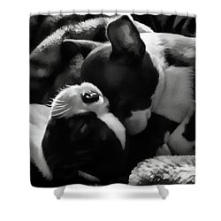 Sleeping Beauties - Boston Terriers Shower Curtain