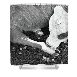 Sleeping Calf Bw Shower Curtain