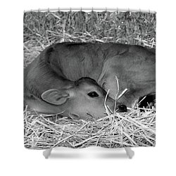 Sleeping Calf Shower Curtain