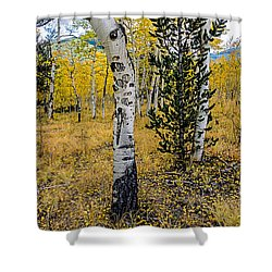 Slightly Crooked Aspen Tree In Fall Colors, Colorado Shower Curtain
