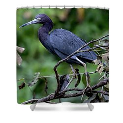 Shower Curtain featuring the photograph Small Blue Heron by John Haldane