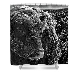 Snow Covered Ice Bull Shower Curtain
