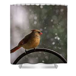Snow Showers Female Northern Cardinal Shower Curtain