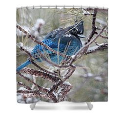 Snowy Bluejay  Shower Curtain