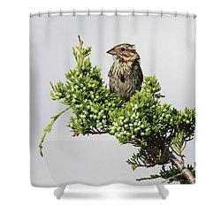 Song Sparrow Port Jefferson New York Shower Curtain