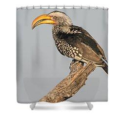 Southern Yellow-billed Hornbill Tockus Shower Curtain
