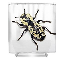 Southwestern Ironclad Beetle Shower Curtain by Bill Morgenstern