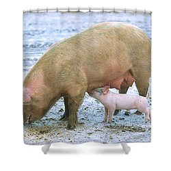 Sow With Piglet Shower Curtain by Science Source