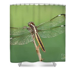 Shower Curtain featuring the photograph Spangled Skimmer Dragonfly Female by Donna Brown