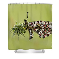 Spanish Festoon Butterfly Shower Curtain by Perry Van Munster