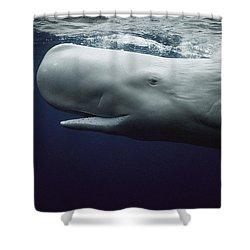 Sperm Whale Physeter Macrocephalus Shower Curtain by Hiroya Minakuchi
