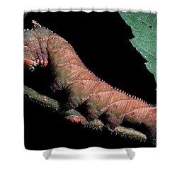 Sphinx Moth Caterpillar Shower Curtain