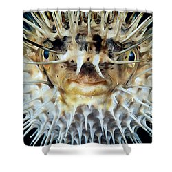 Spiny Puffer Shower Curtain by Dave Fleetham - Printscapes